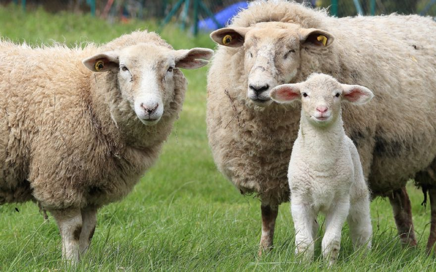 Koyunlarda Laktasyon Fizyolojisi